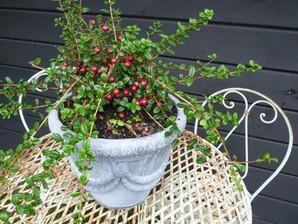Edible tabletop topiary - cranberries