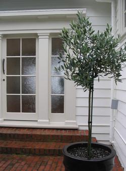 Olive tree standards Olea europea