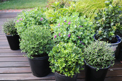 "Mixed ""Tabletop"" topiary balls"
