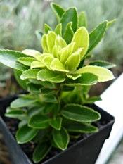 Dwarf Euonymus