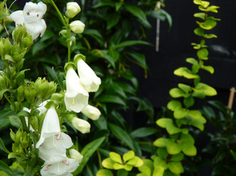 Summer flowering white Penstemons