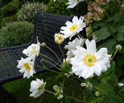 Japanese Anemones run a little wild