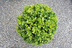 """Buxus """"Green Gem"""""""