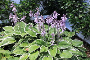 Hostas in front courtyard