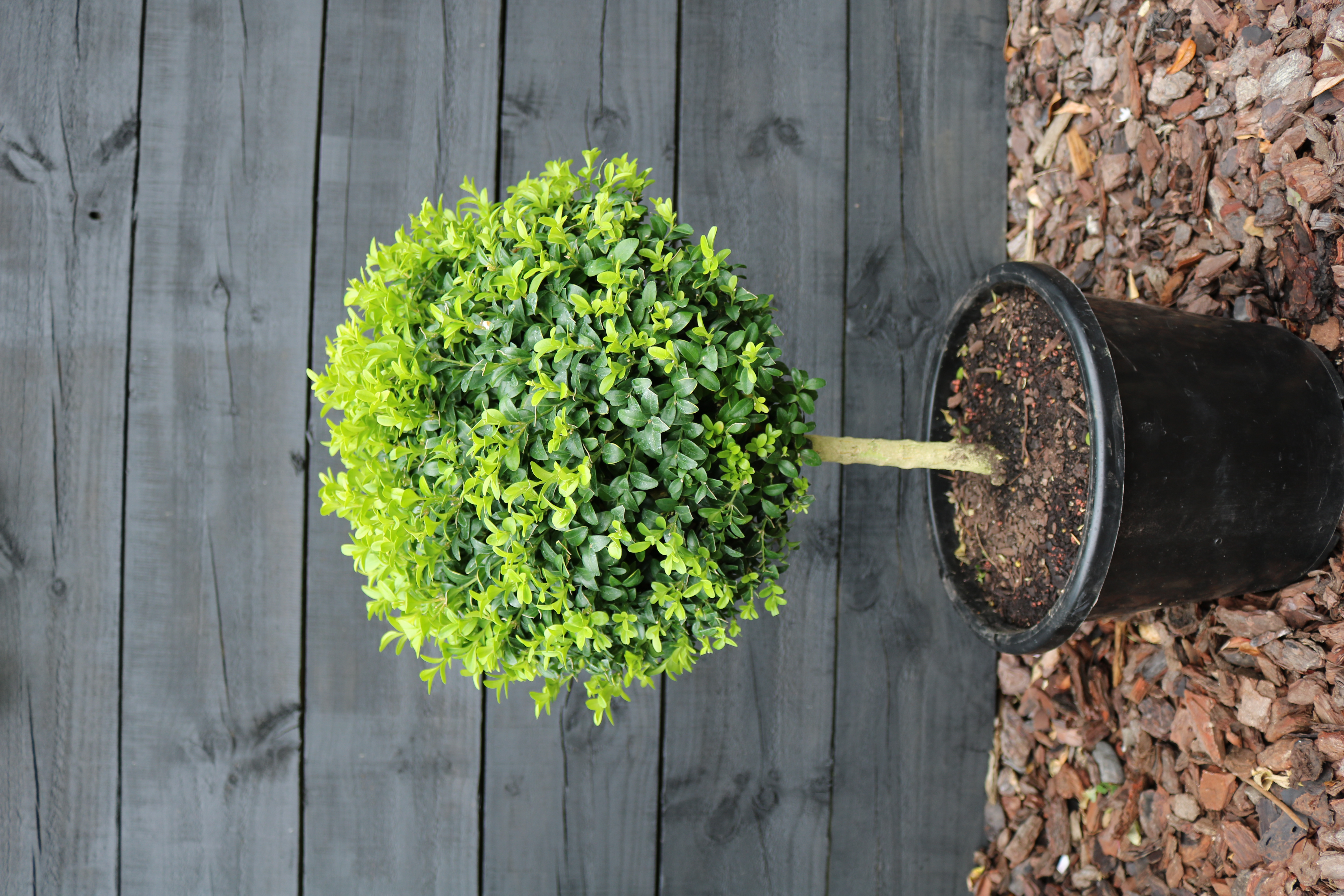 Buxus standard topiary