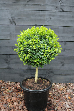 Buxus standard topiary