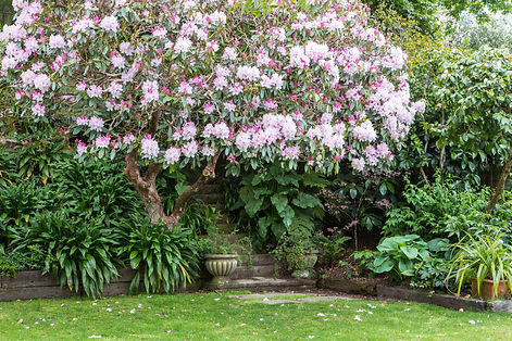 Rhododendron in flower secret garden planting on banks