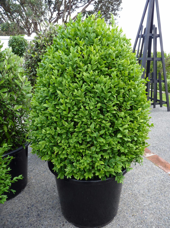 Boxwood | Buxus topiary cones