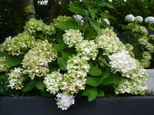 White flowering Hydrangea Bridal Bouquet