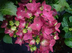 Deep pink - cerise Hydrangeas