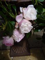 Pretty pale pink low maintenace rose