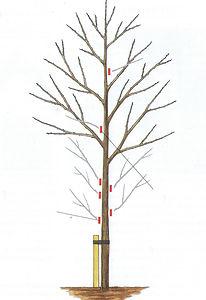 3. Standard Trees.jpg