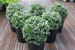 Small growing topiary