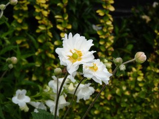 Japanese anemones against chatreuse foliage