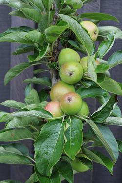Ballerina apple column