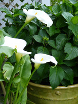 Arum Lilies were here before us!