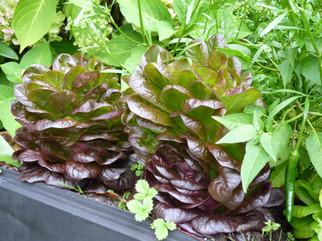 Sam's lovely vegetable garden