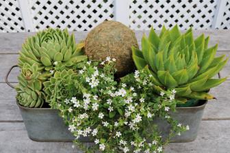 Succulents make great pot plants