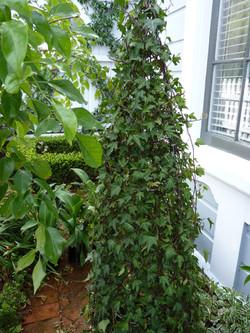 Ivy Cone