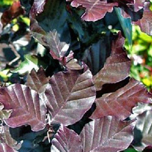 Copper Beech column leaves