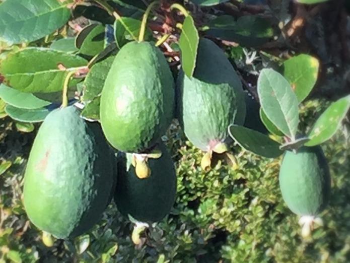 """Feijoa """"Unique"""" fruit"""