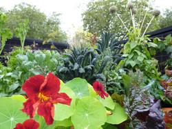 Companion planting with nasturtiums