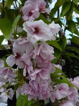 Prunus Amanogawa, double pink cherry blossom