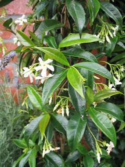 Jasmines on 1m tall canes