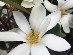 White flowering Michelias