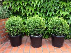 Boxwood | Buxus topiary balls