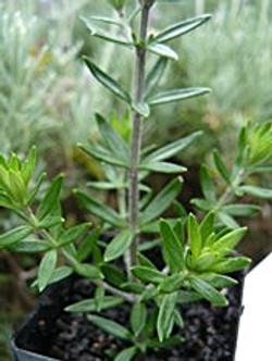 Australian Rosemary