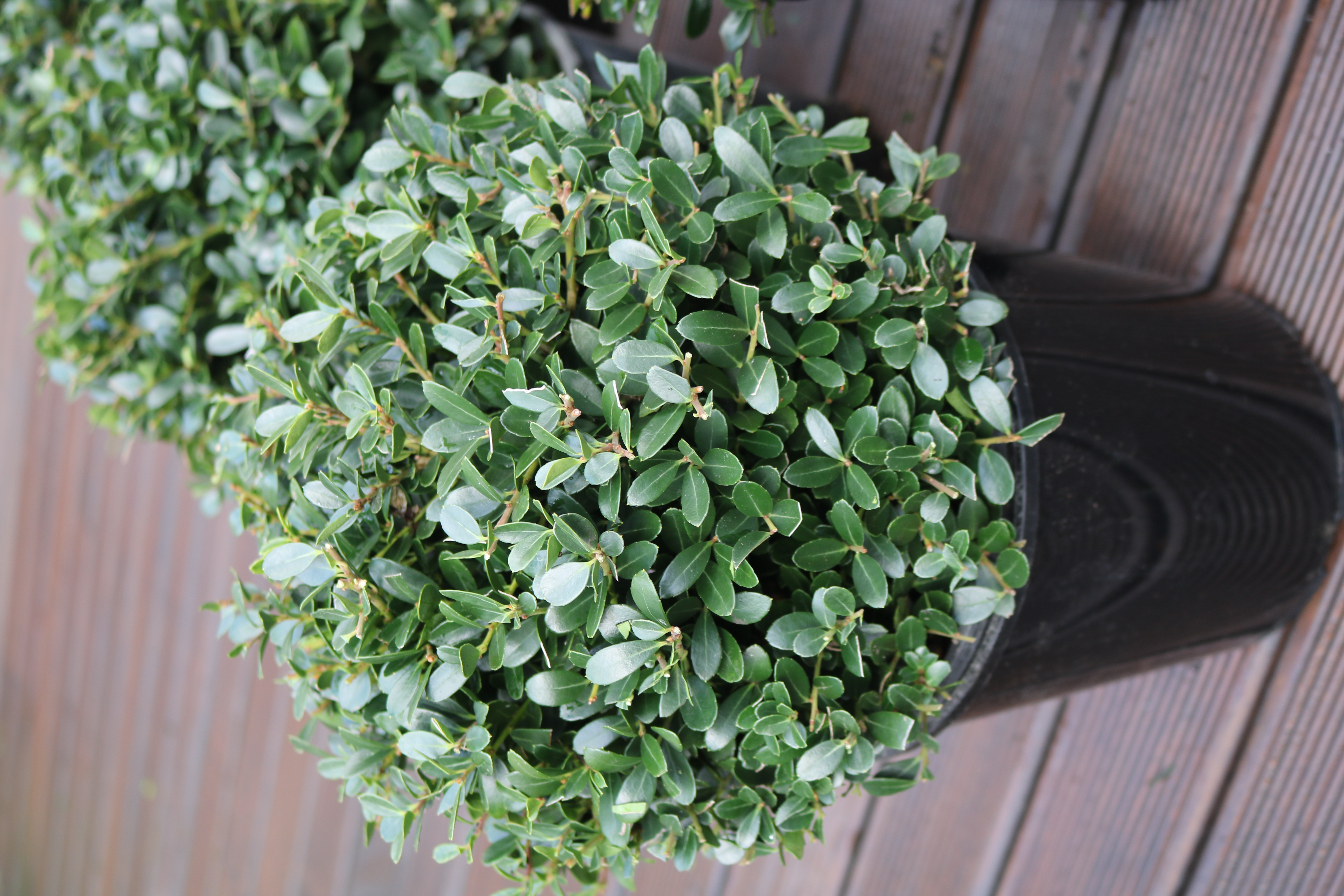 Japanese Box Holly