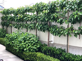 1 Pleached Ornamental Pears.jpg