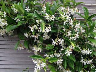 Chinese Star Jasmines in flower