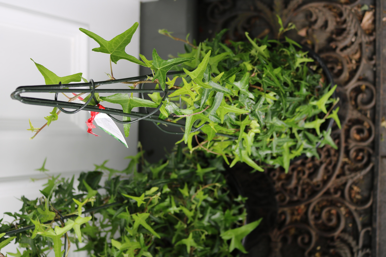 Cute As Ivy Cones