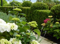 Hydrangeas & topiary in Kelburn