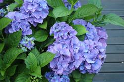 Turn Hydrangeas blue