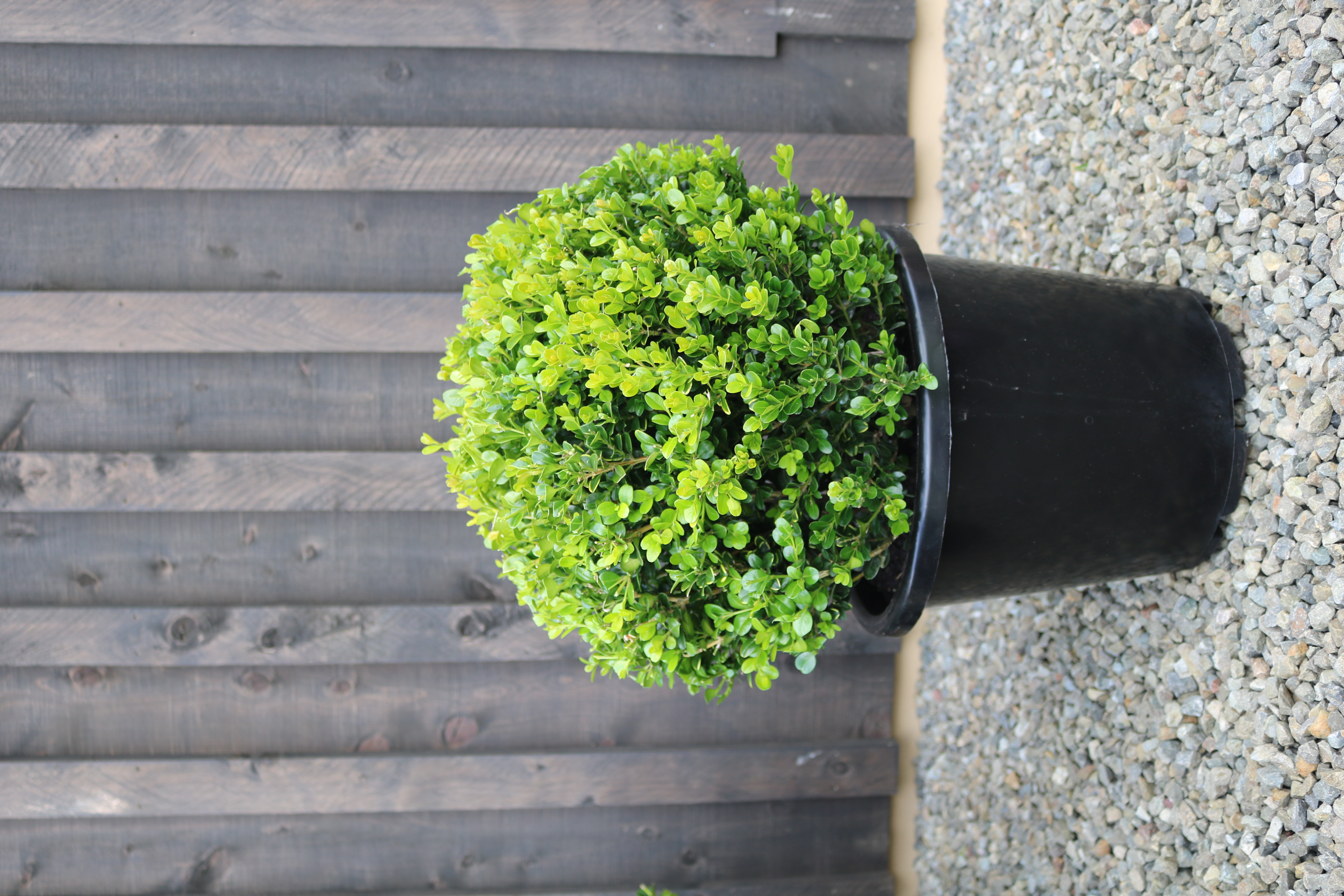 "Buxus ""Green Gem"""
