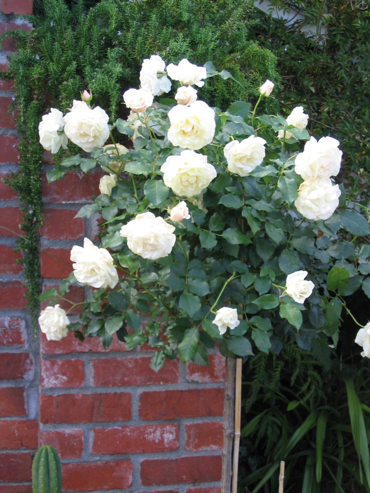 White standard Roses