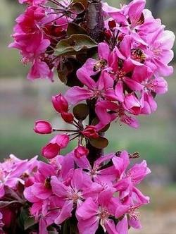 Malus Ballerina Maypole flowers