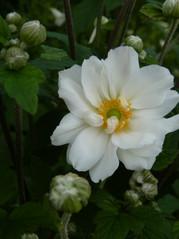 White flowering Japanese Anemones in autumn