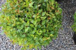 "Abelia ""Snowtime"" leaf detail"