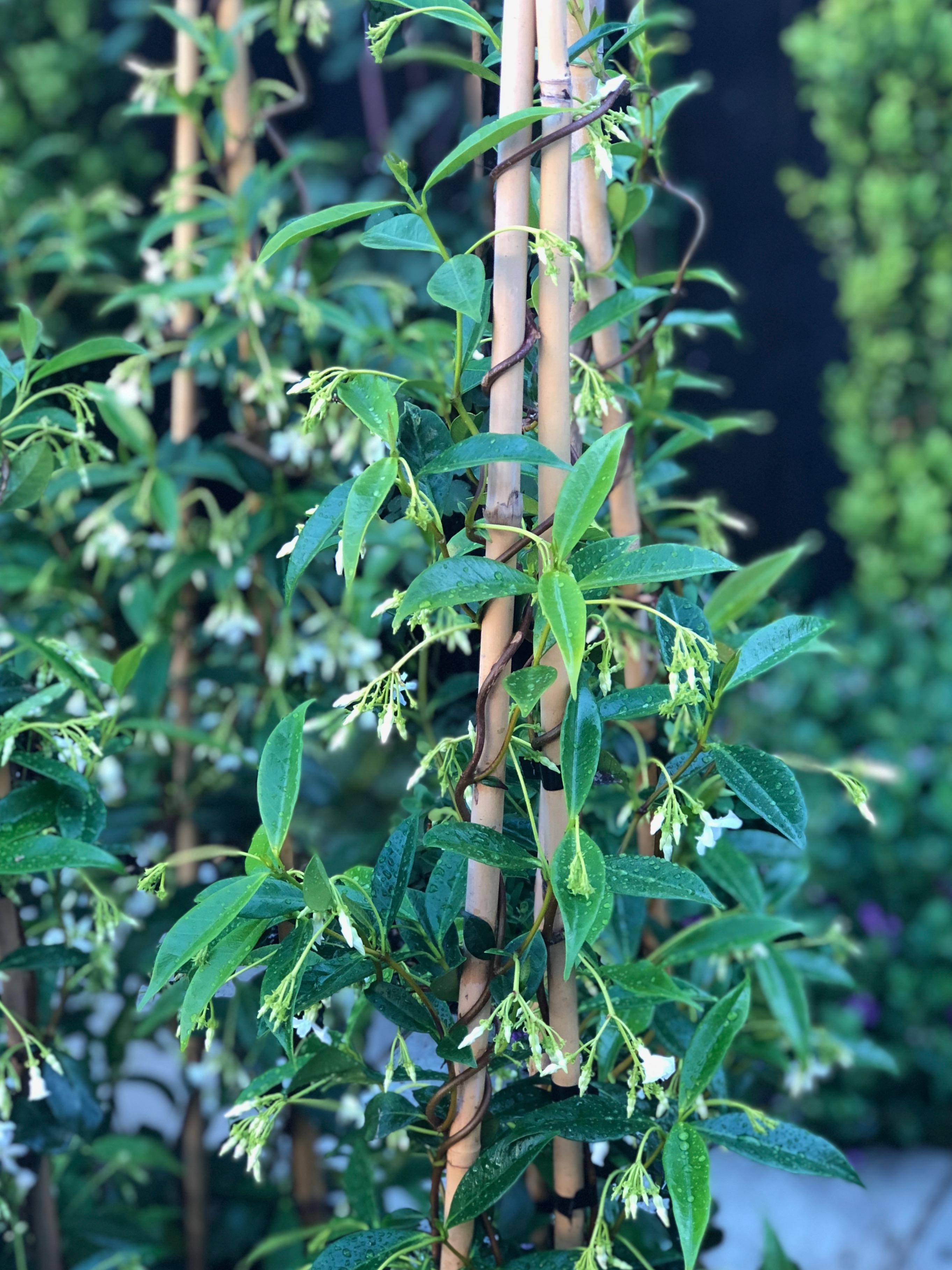 Chinese Star Jasmines