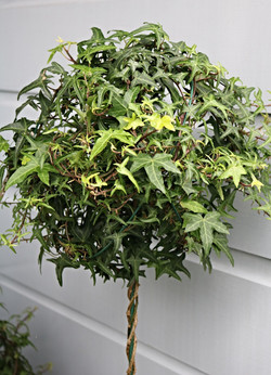 Ivy Topiary | Hedera helix | Hedera helix