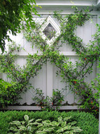 Chinese Star Jasmine on wires against garage