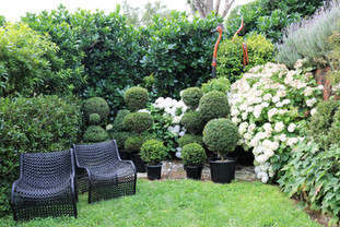 Large  layered hedges & hydrangeas frame the topiaries for sale