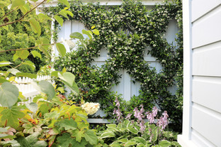 Jasmine espalier about 4 years later
