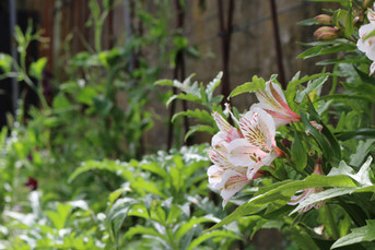 White Alstroemeria Casablanca, Delphiniums & Artichokes