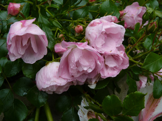 "Pink flower carpet rose ""Apple Blossom"""