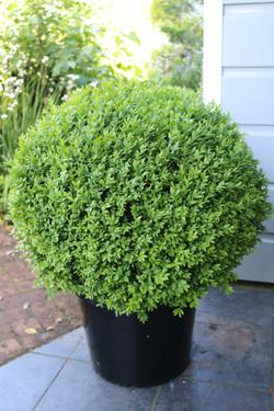 Buxus sempervirens ball